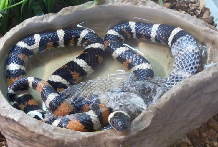 serpente muta pelle