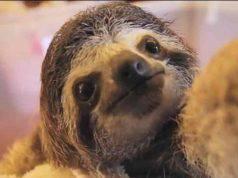 Il bradipo alle prese con i selfie (Foto video)