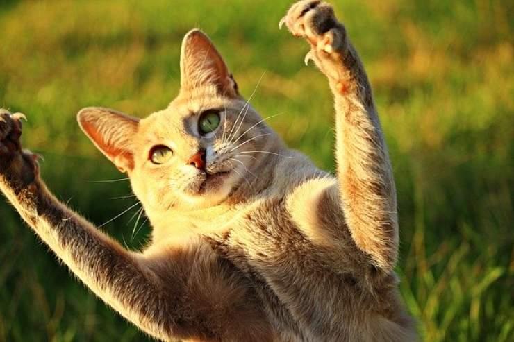 6 fatti sugli artigli del gatto