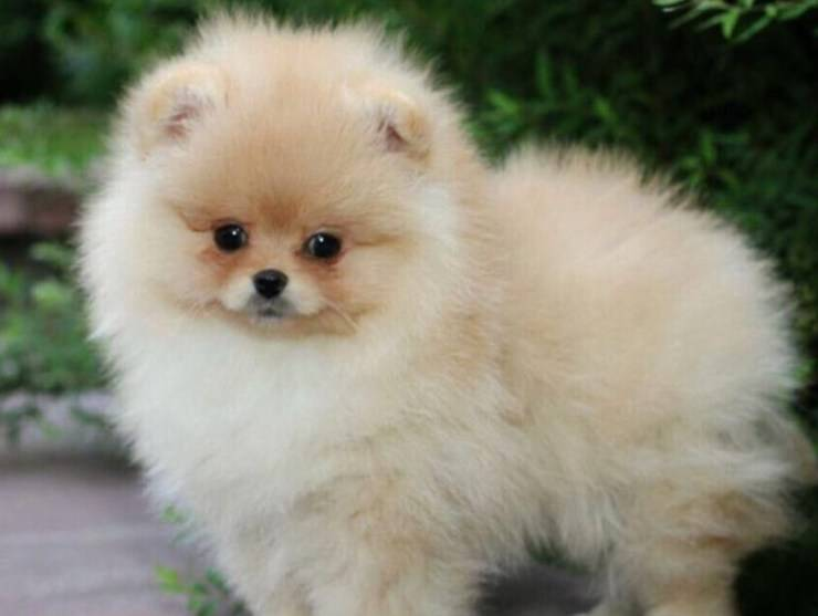 cucciolo toy cani