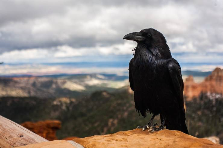 corvi corvo uccello
