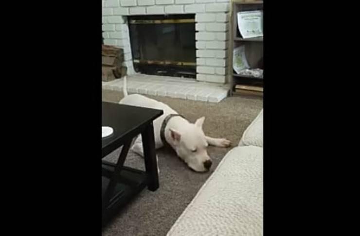 Il dogo sdraiato sul pavimento (Foto video)