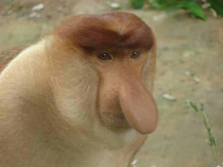 nasica scimmie estinzione