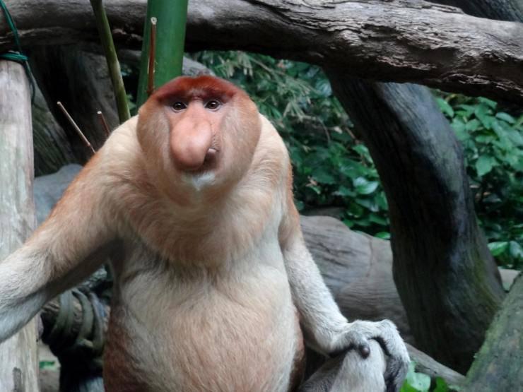 nasiche scimmie nasone