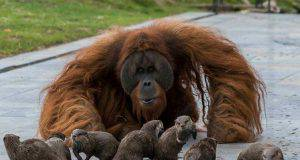 L'orango e le lontre (Foto Facebook)