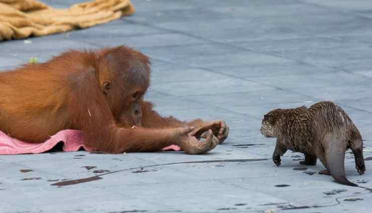 La lontra si avvicina all'orango (Foto Facebook)