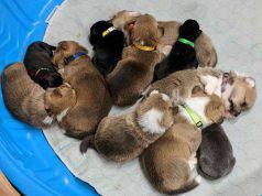 Cuccioli di pitbull (Foto Facebook)