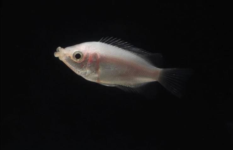 Pesce bacione