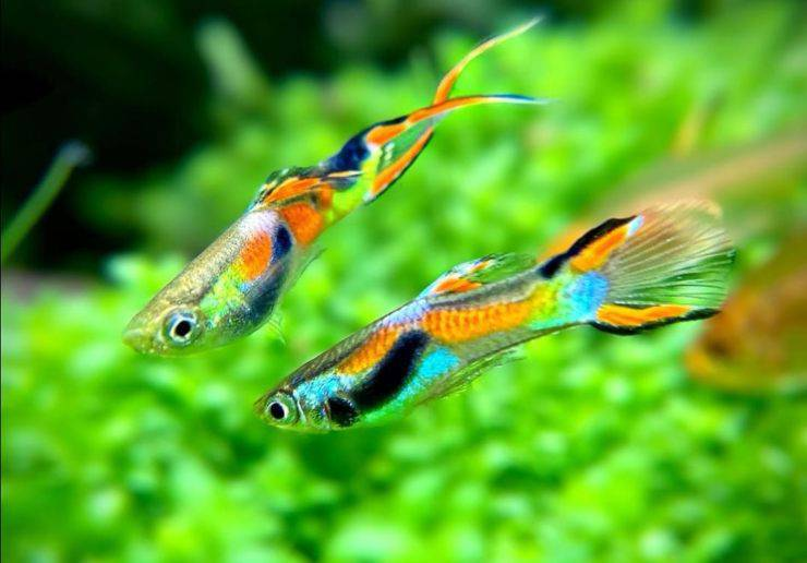 Pesce Guppy