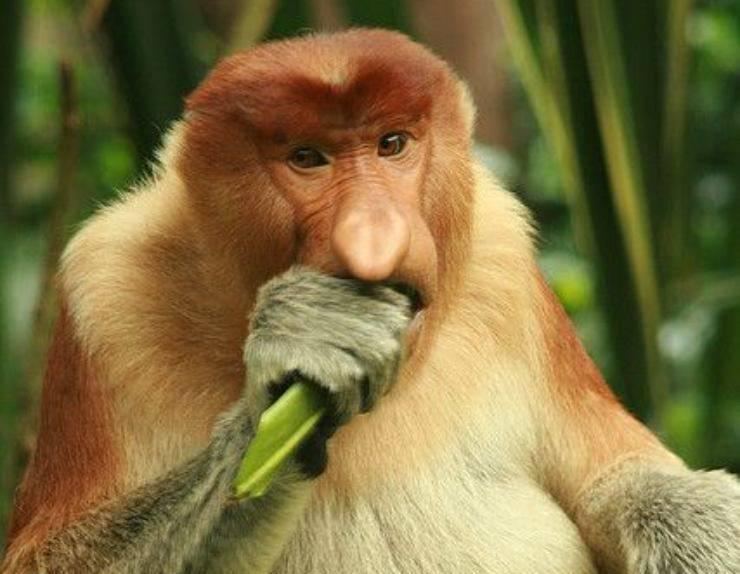 nasiche scimmia nasona