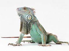 Iguana muove la testa