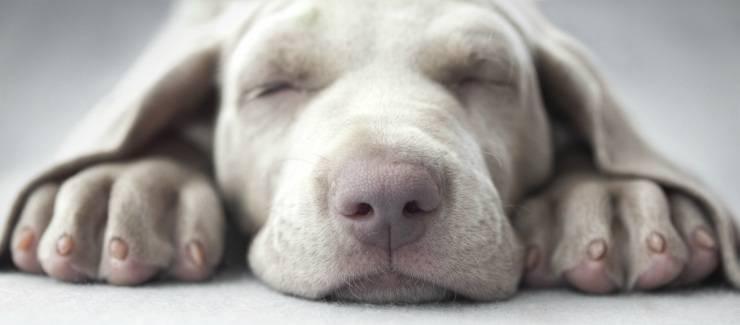 Il cane si gratta il muso
