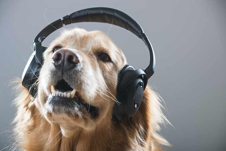 Il Golden Retriever che ascolta la musica (Foto Adobestock)