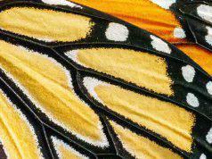 Polvere sulle ali delle farfalle