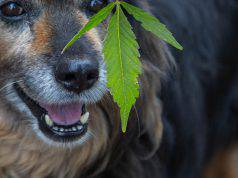 cannabis animali domestici