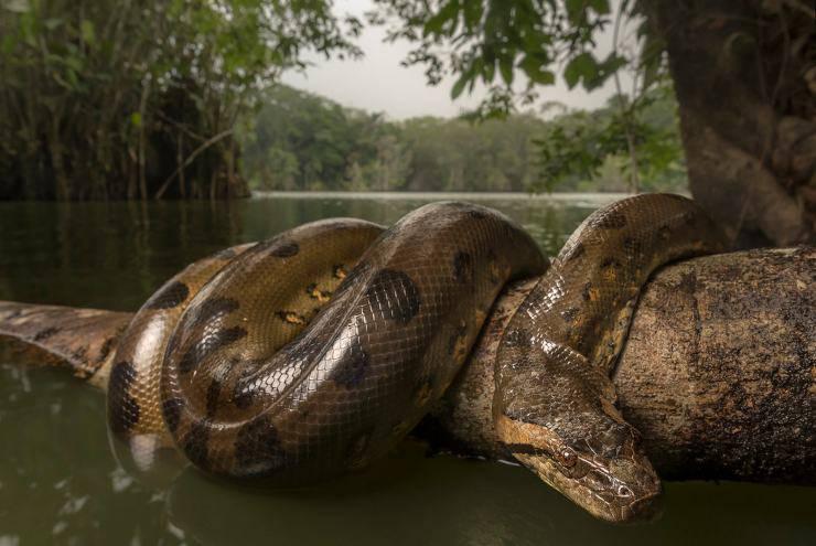 Anaconda verde animali più pericolosi dell'amazzonia