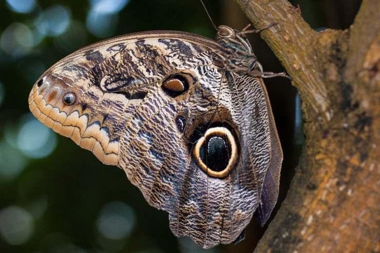 Caligo Eurilochus pixabay