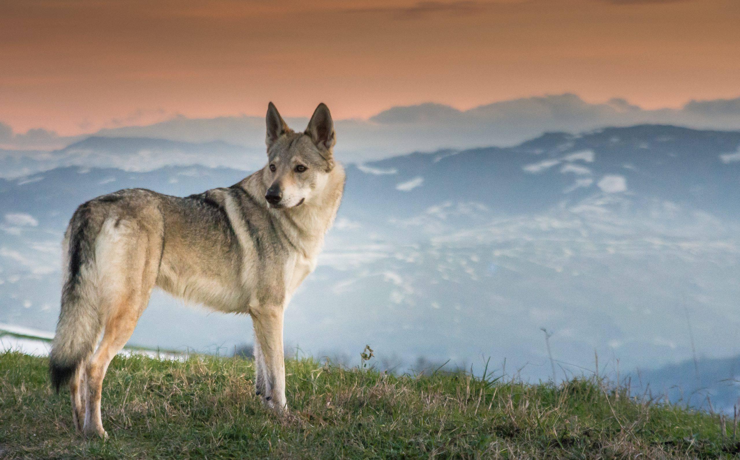 Cane da lupo cecoslovacco adulto