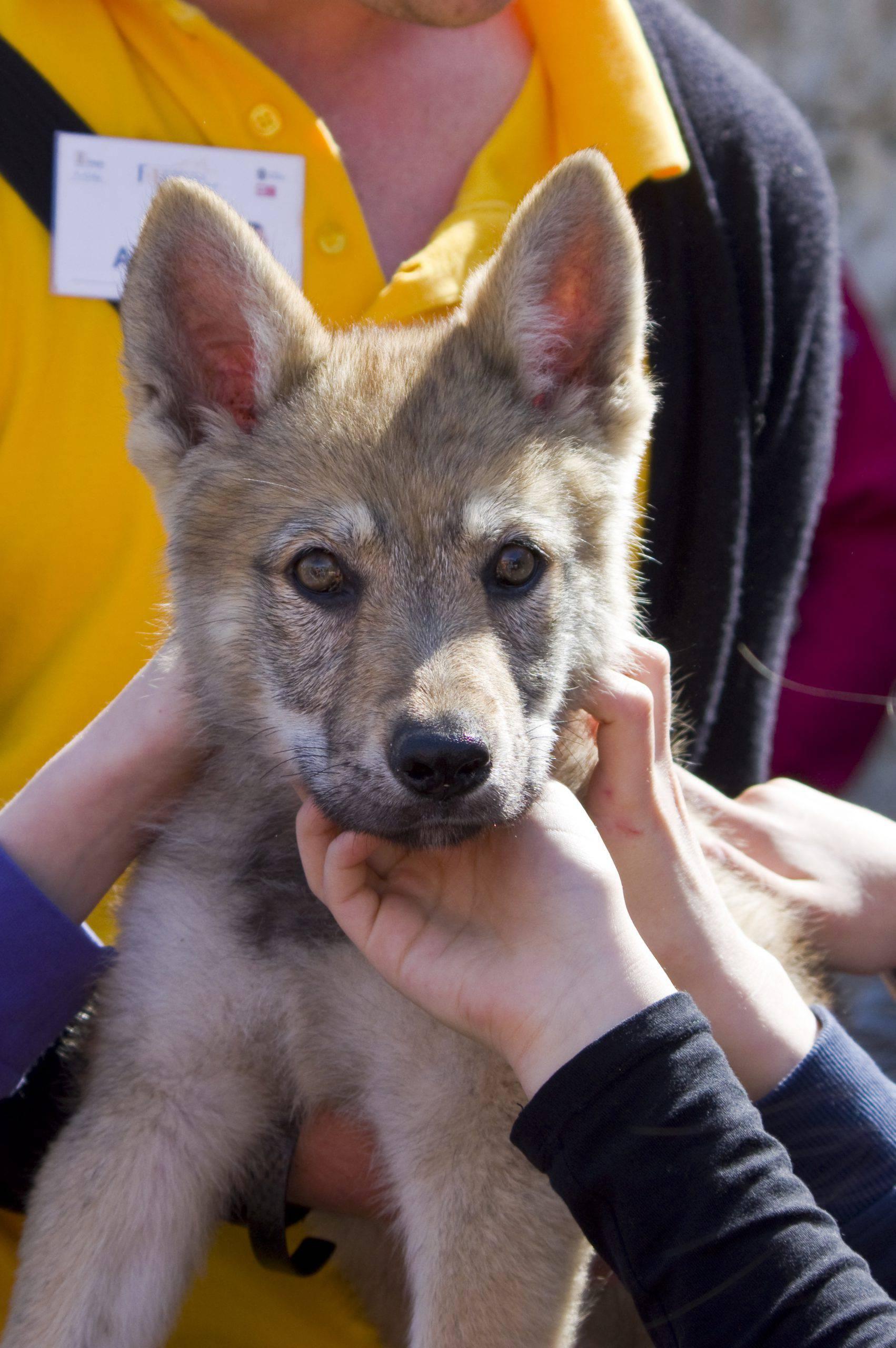 Cane da lupo cecoslovacco cucciolo
