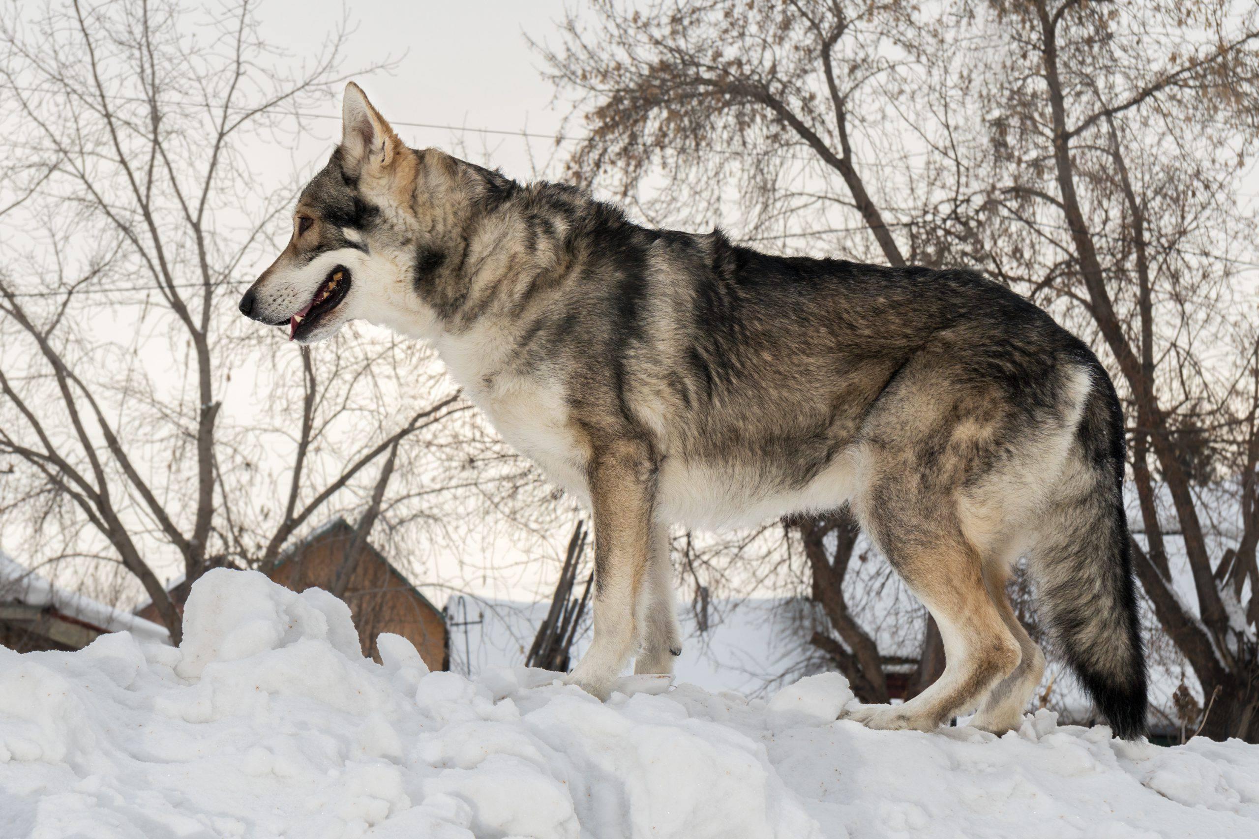 Cane da lupo saarloos adulto