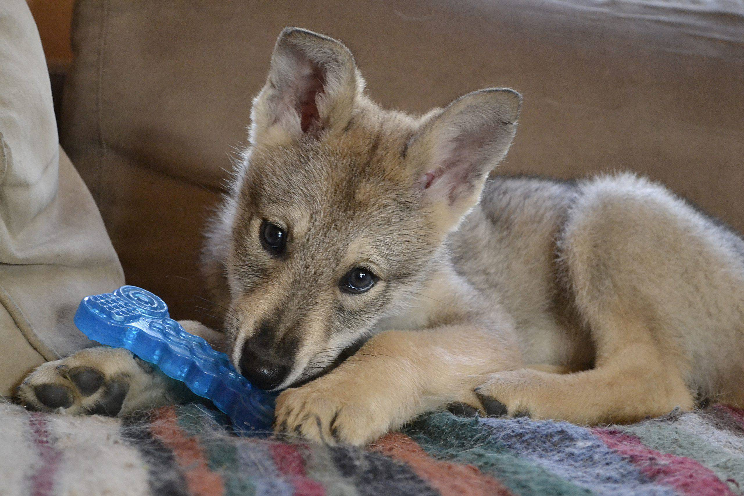 Cane da lupo saarloos cucciolo