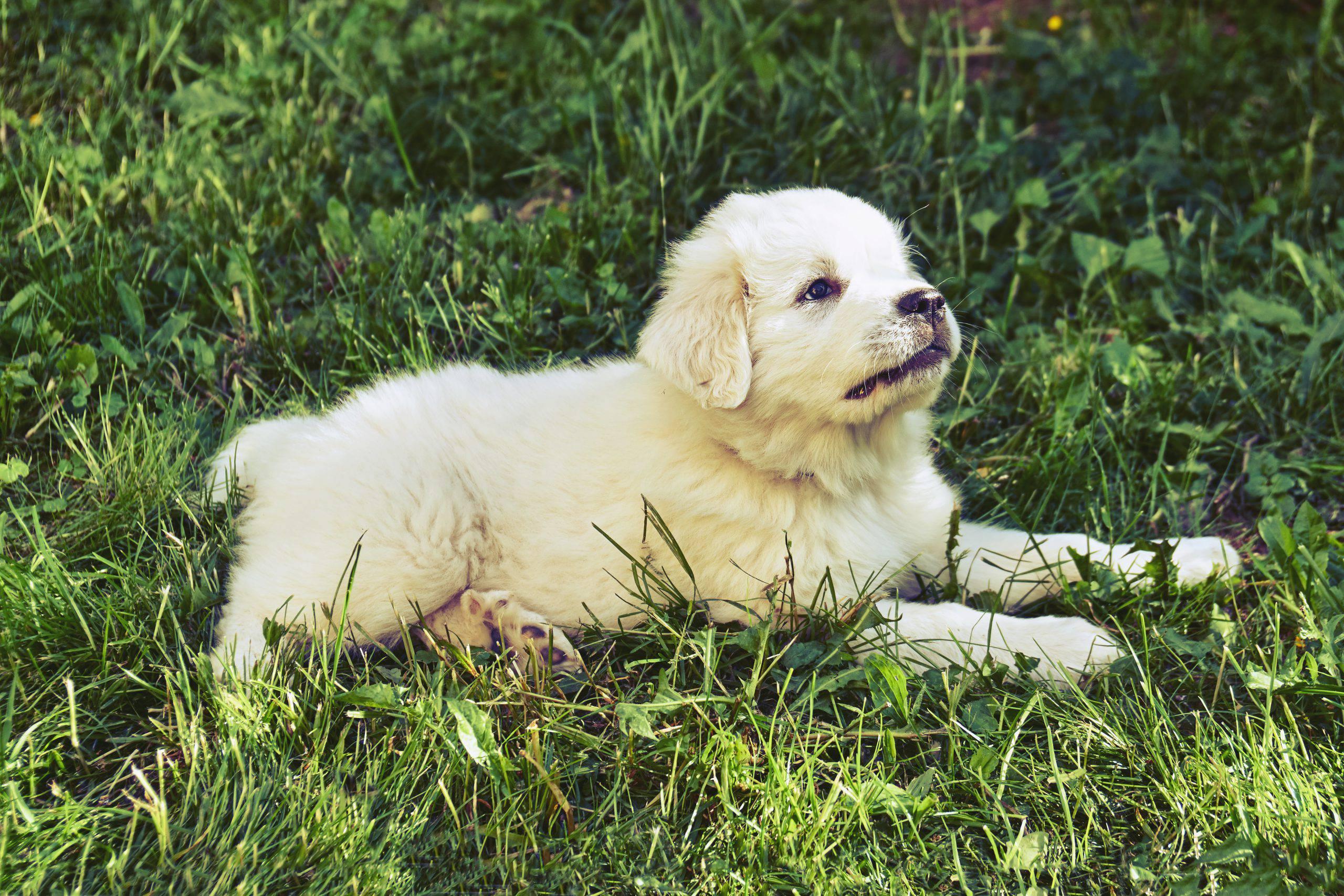 Cane da montagna dei pirenei cucciolo