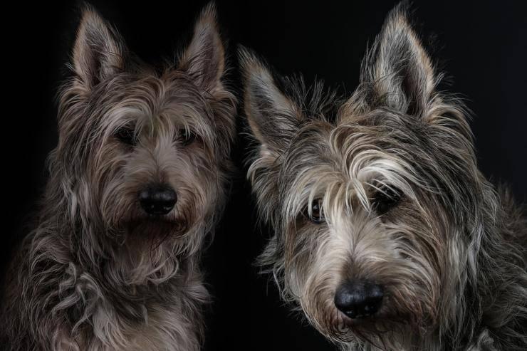 Cane da pastore di Piccardia cucciolo