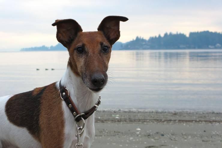Cane da pastore scozzese a pelo corto cucciolo