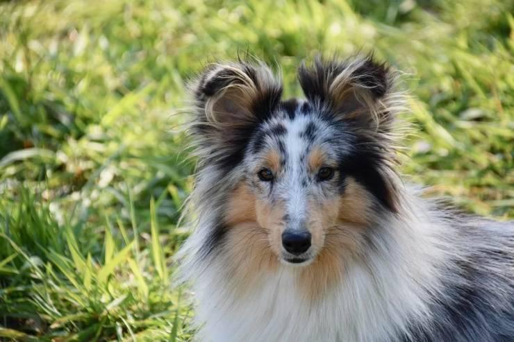Cane da pastore scozzese shetland adulto