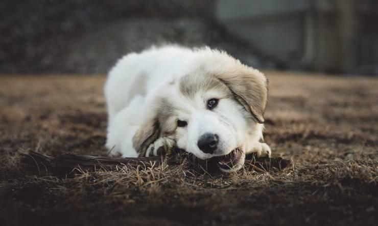 Cane dell'Atlas cucciolo