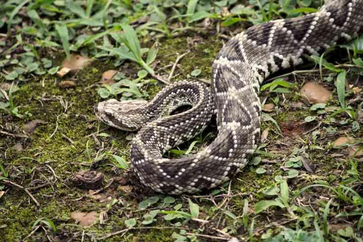 Cascavel animali più pericolosi dell'amazzonia