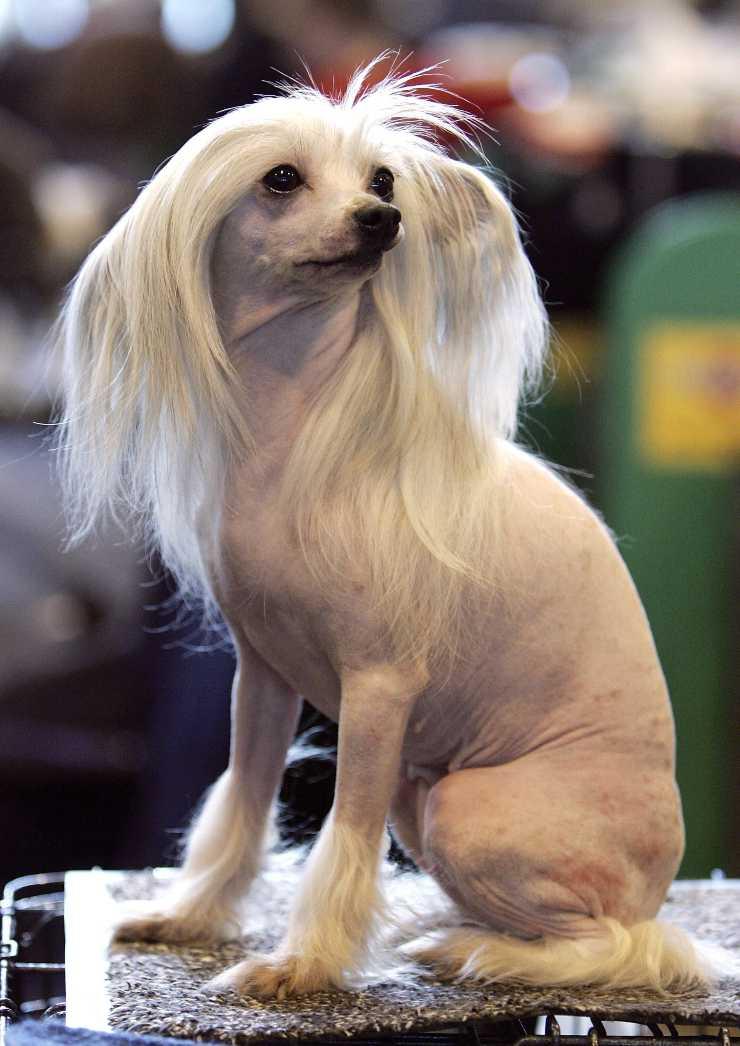 Chinese crested dog adulto
