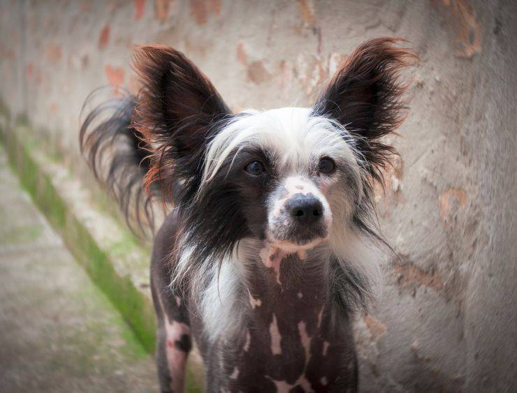 Chinese crested dog cucciolo