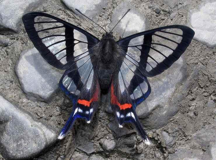 Chorinea sylphina farfalle più belle