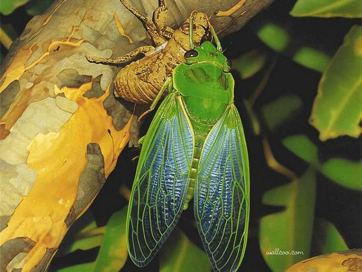 Cyclochila australasiae pinterest