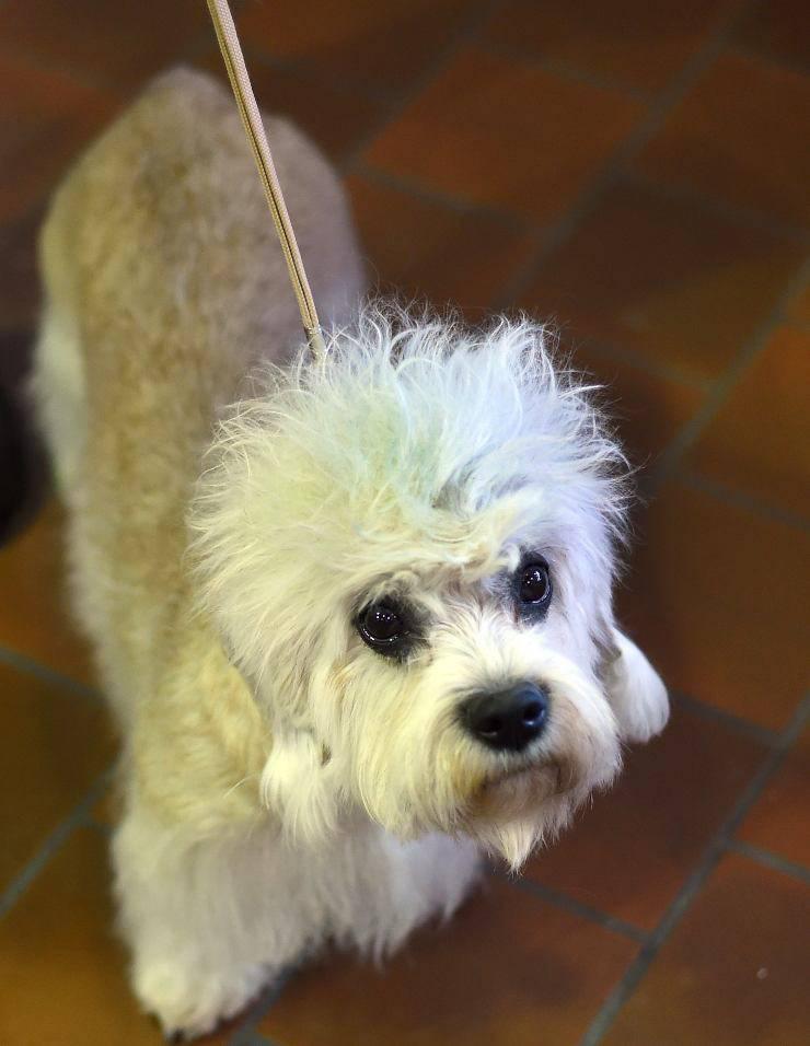 Dandie Dinmont Terrier cucciolo