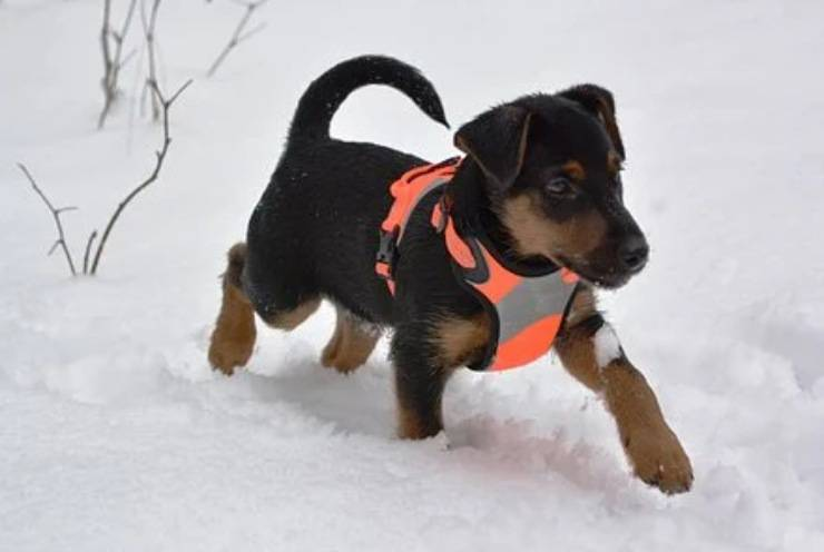 Deutscher Jagdterrier cucciolo