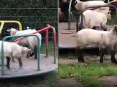 pecore al parco