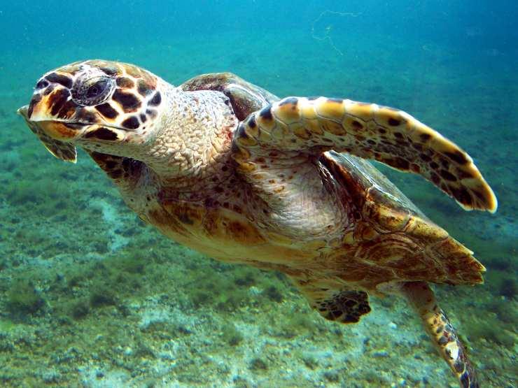 tartaruga embrecata