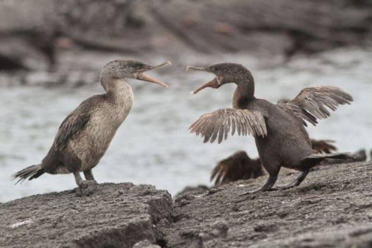 cormorano attero delle galapagos
