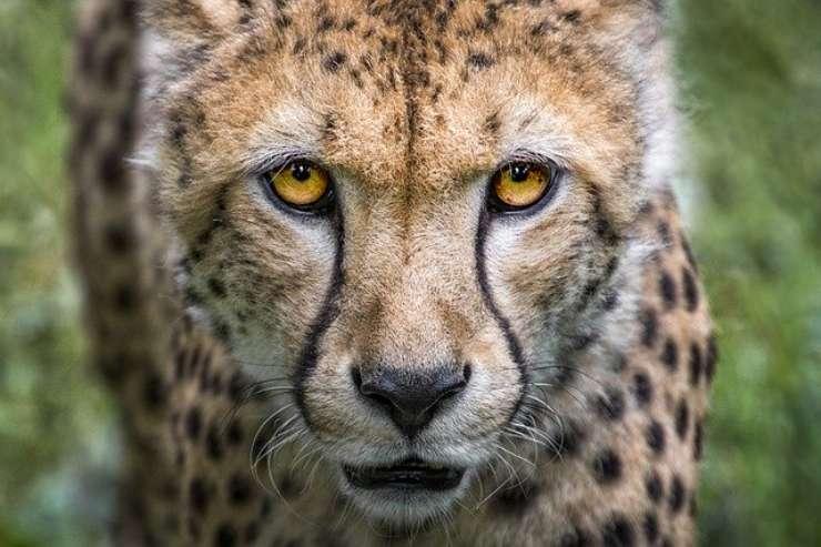 Curiosità sul ghepardo