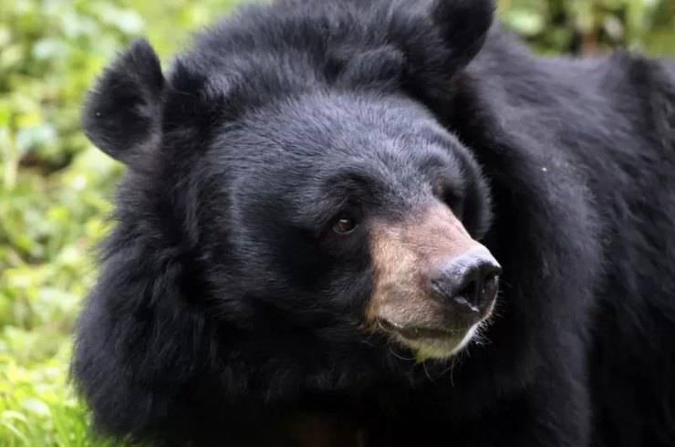 orso nero tibetano