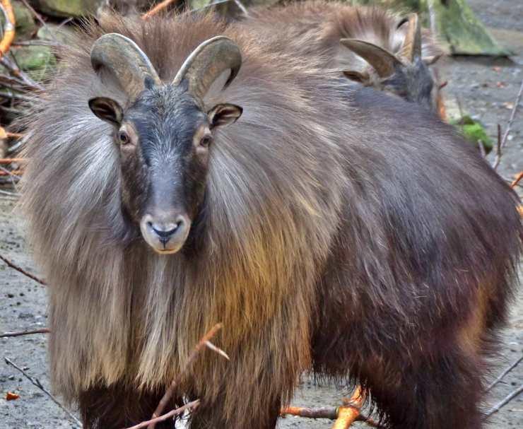 tahr animali dell'Himalaya