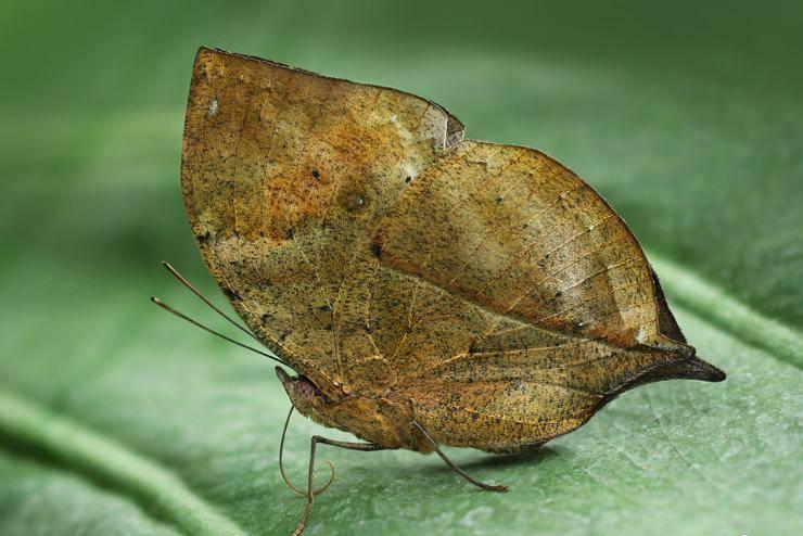 Kallima inachus farfalle più belle