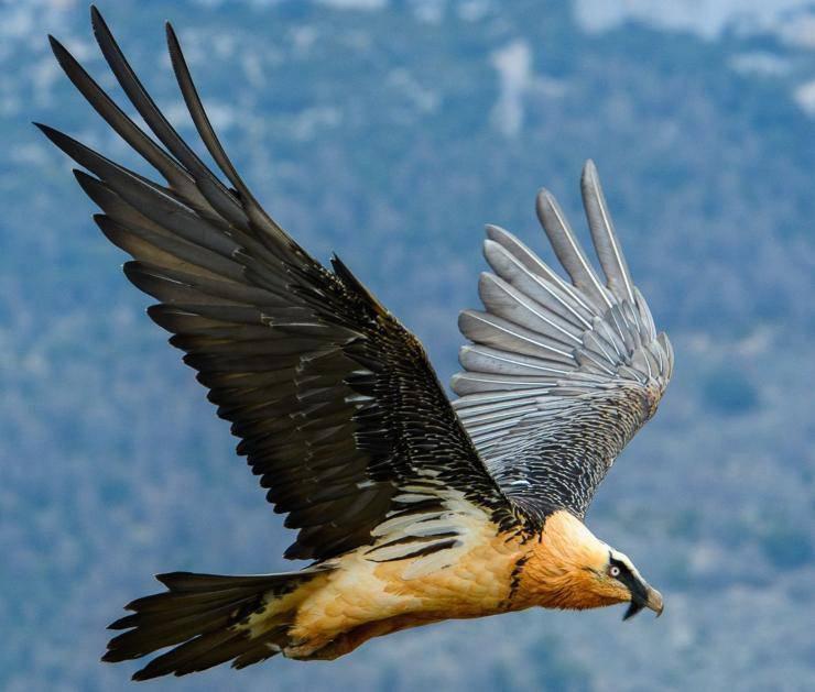Lammergeier Gipeto uccelli più pericolosi