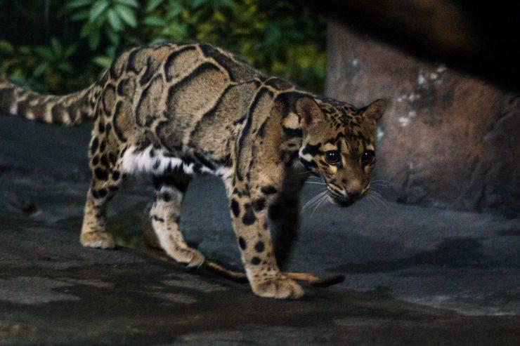 Leopardo nebuloso animali fantastici