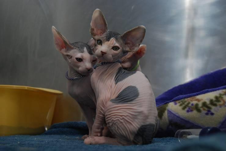 Minskin razze di gatti più strane