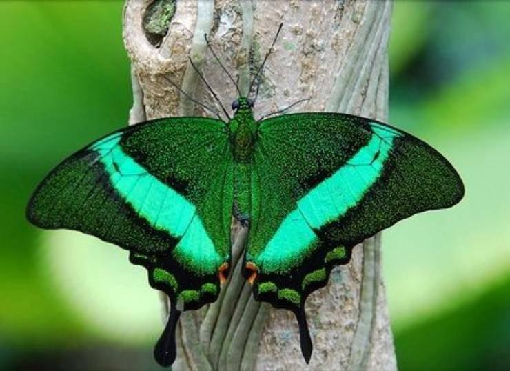 Papilio palinurus farfalle più belle