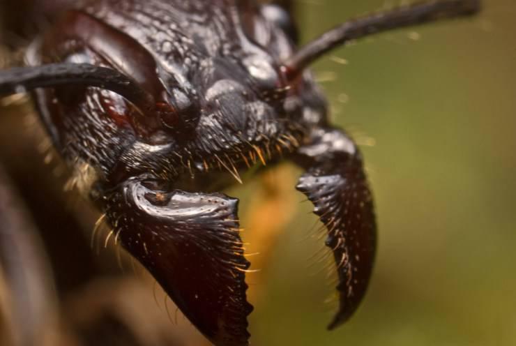 Paraponera clavata formica
