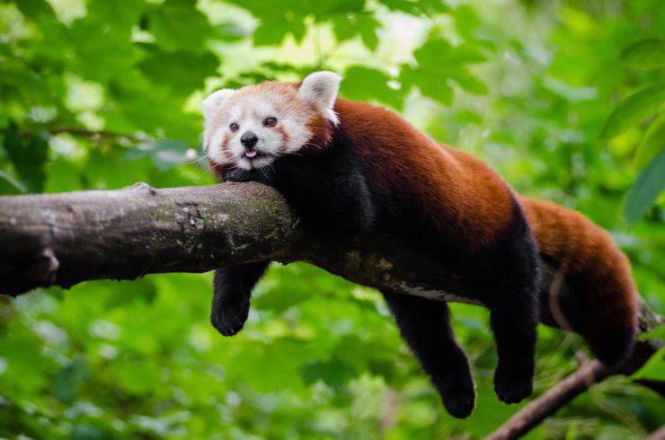panda rosso himalaya